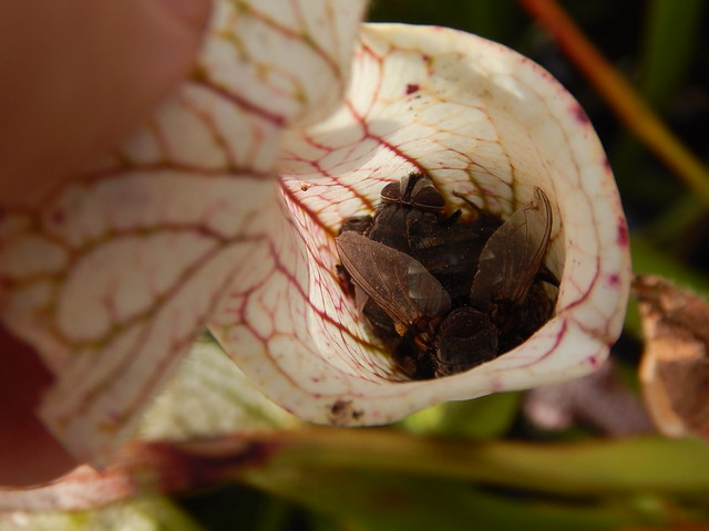 Sarracenia leucophylla, Owen O'Neil's collection