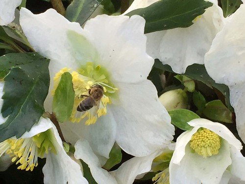 dec 2015 bee on hellebores