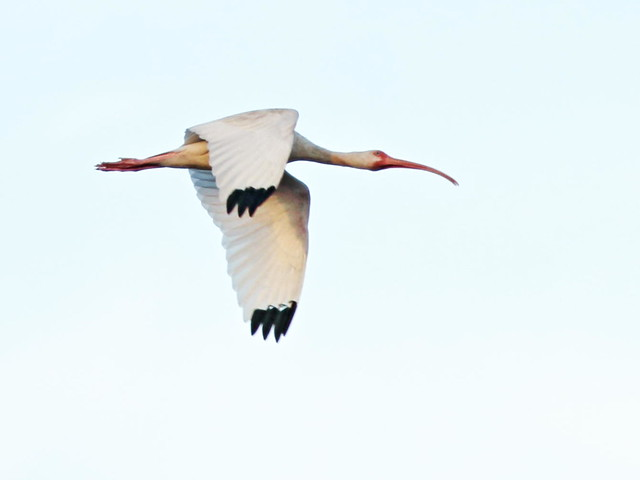White ibis in flight 20160120