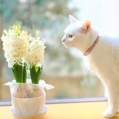 あっという間に咲き揃いました。 #ヒヤシンス見張り番 #ヒヤシンス #nekomikan #みかん #しろねこ #白猫 #whitecat #ねこ #猫 #にゃんこ #neko #catstagram