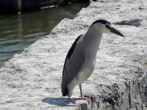 Chapala - bird