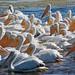 Flickr photo 'American White Pelicans (Pelecanus erythrorhynchos)' by: Mary Keim.