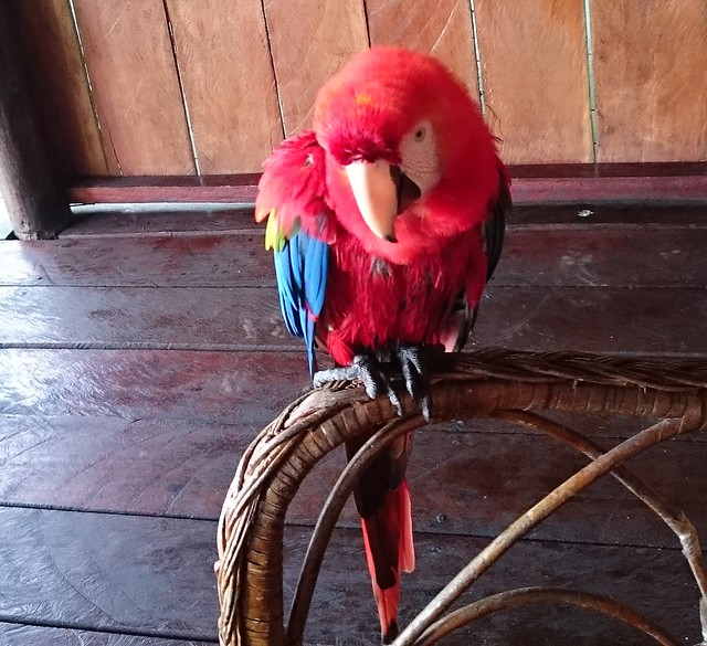 parrot amazon tupana lodge