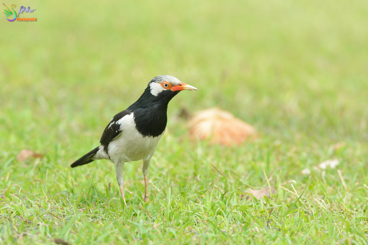 Asian_Pied_Starling_1507