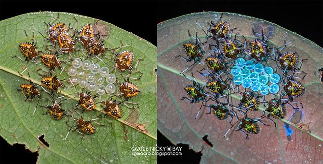 Stink bug nymphs (Pentatomidae) - Pentatomidae_DSC_2524