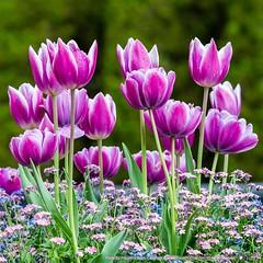 Tonami Tulip Fair 2016  Venue/Place: Tonami Tulip Park Time: 8:30-17:30 (Last admission 17:00) Address: 1-32 Hanazonomachi, Tonami, Toyama,939-1382 Parking Lot: Yes Festival Period: April 22 to May 5, 2016 Tel: +81 763-33-7716 Admission Fee: ¥1,000 Adult,