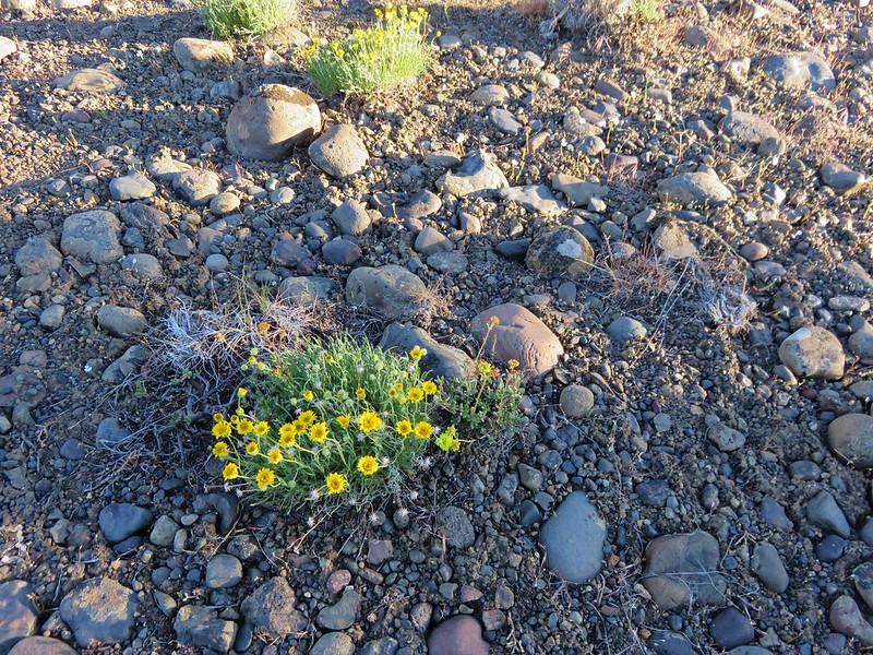 desert yellow fleabane