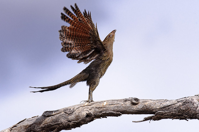 a pheasant coucal (non-breeding)