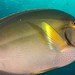 Small photo of Acanthurus xanthopterus