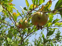 Wild Pomegranates