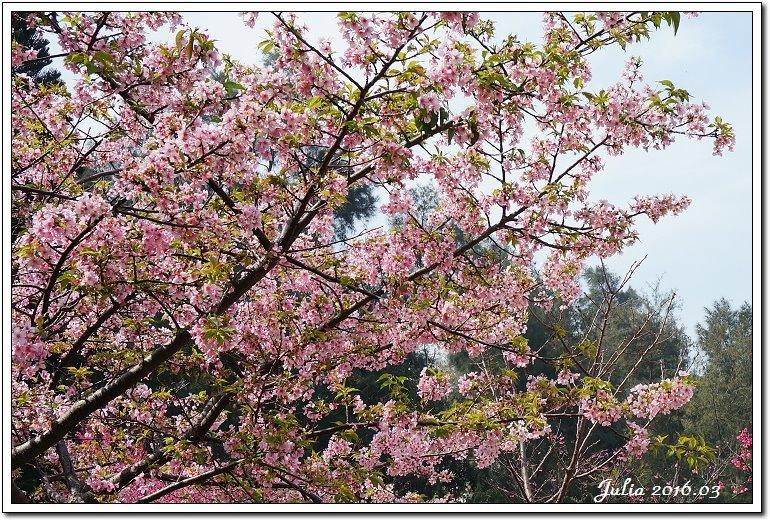 麗池公園河津櫻 (15)