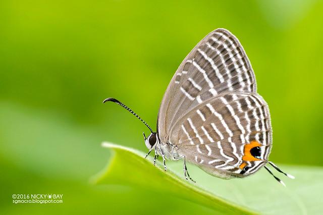 Cerulean butterfly (Jamides sp.) - DSC_3937
