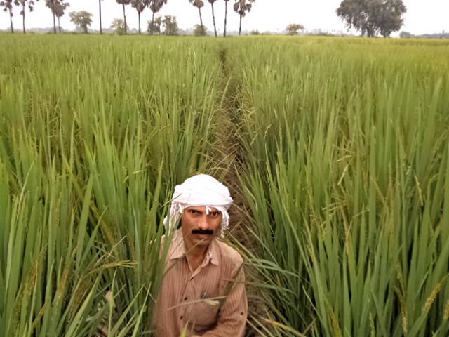 दिलीप सिंह अपने धान के खेत में