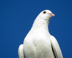 White rock pigeon
