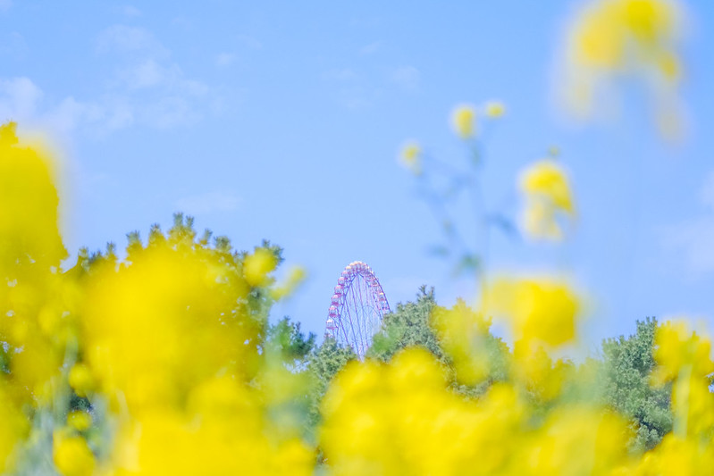 Rapeseed flowers and Ferris wheel