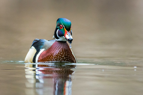 male bird philadelphia nature water creek us duck spring nikon unitedstates pennsylvania wildlife droplet drake waterfowl wissahickon chestnuthill woodduck valleygreen aixsponsa lincolndrive d7200