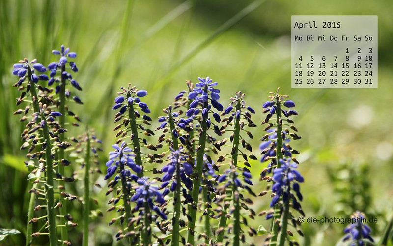 traubenhyacinthen_april_kalender_die-photographin