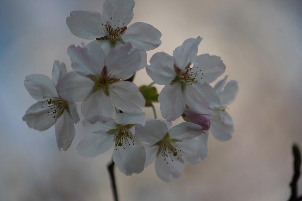桜 × Vario-Sonnar 80-200mm F4