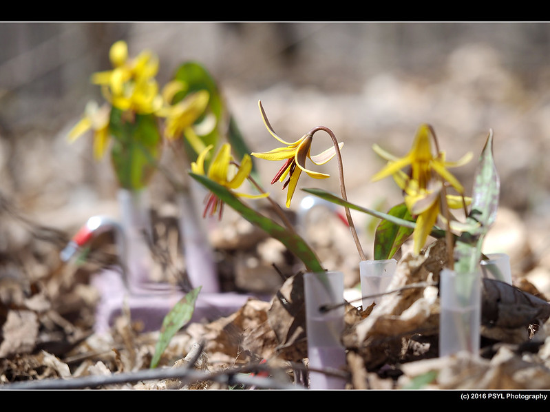 Trout Lilies (Research array #4 - red pollen)