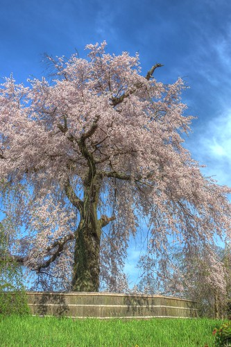 A famous tree of Sakura at Maruyama Park, Kyoto on APR 06, 2016 (1)