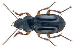 Dichaetochilus vagans (Dejean, 1831)