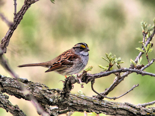 White-throated Sparrow HDR 2-20160426