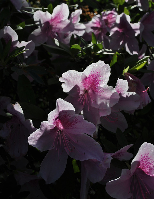 Rhododendron x 'George L. Taber' (2)