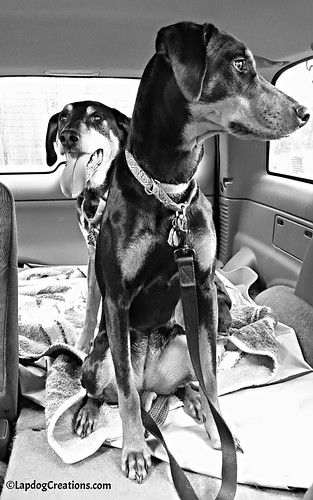 Happy Dogs Love Sunday Joyrides #dogsincars #sundayjoyridge #LapdogCreations ©LapdogCreations