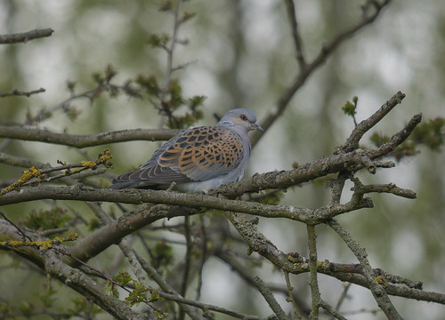 Turtle Dove, Willington GP, 27th April 2016
