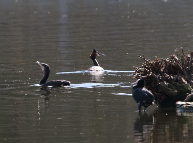 Cormorant and Great Crested Grebe