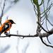 João-pinto (Icterus croconotus) - Orange-backed Troupial