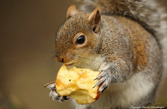 An apple a day keeps the Grey Squirrel (Sciurus carolinensis) at bay.