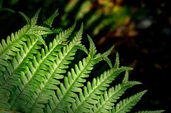 Scaly Male Fern - sport with forked tips