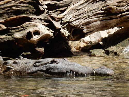Canon del Sumidero - krokodil