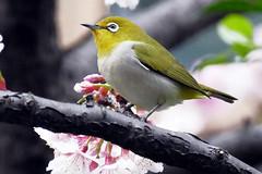 未列名鳥類與家禽類 '16a