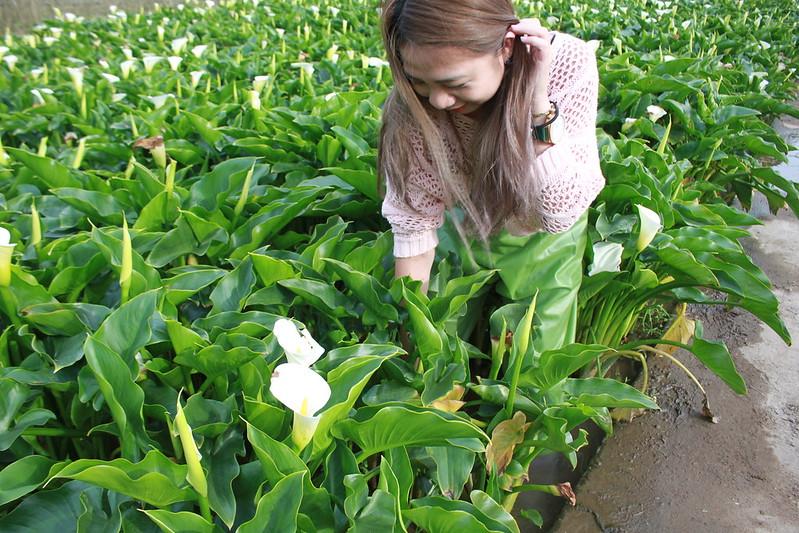 竹子湖採海芋-17度C隨拍 (33)