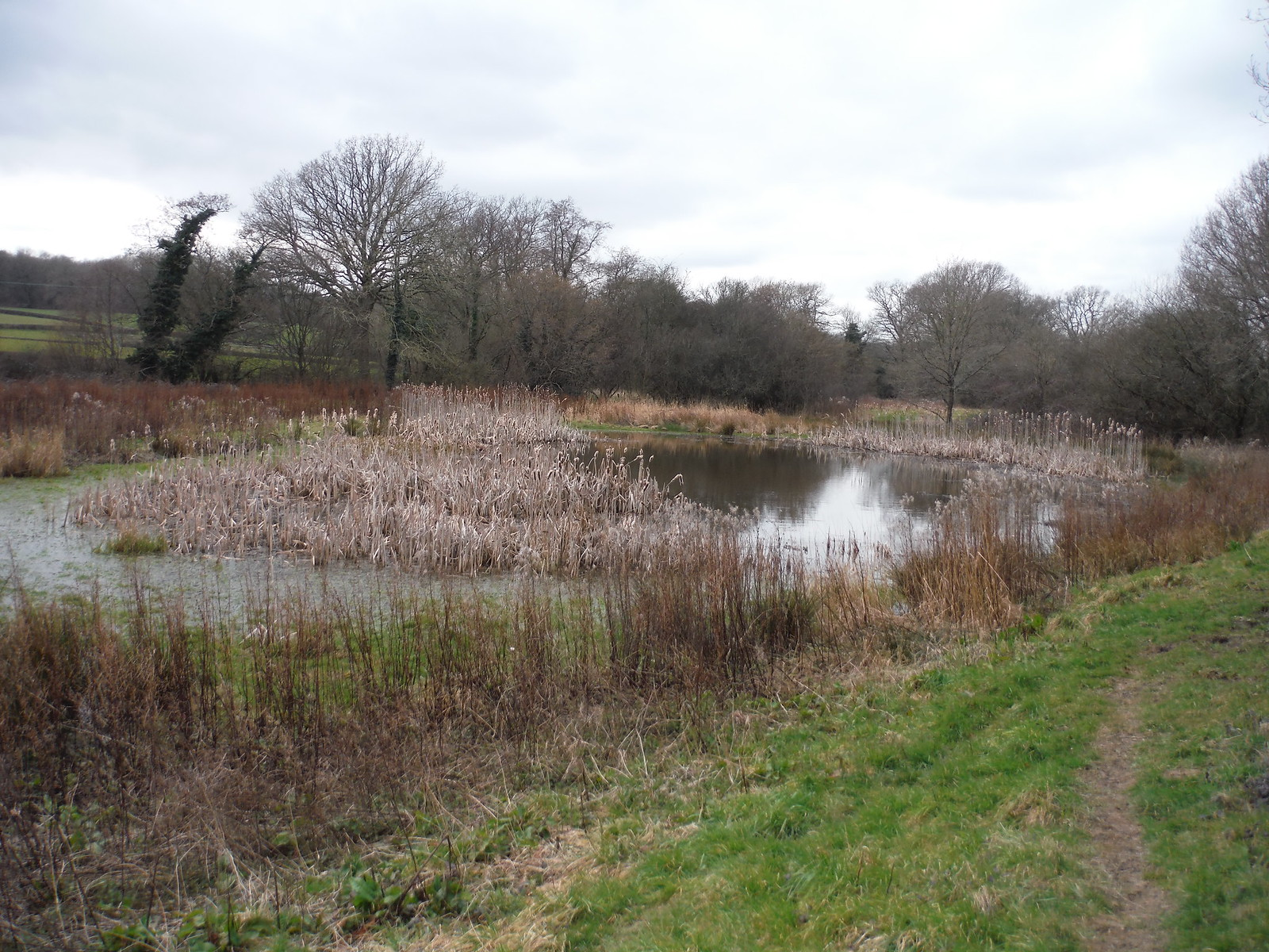 Reed-filled pond near Arches Manor SWC Walk 262 Uckfield to Buxted