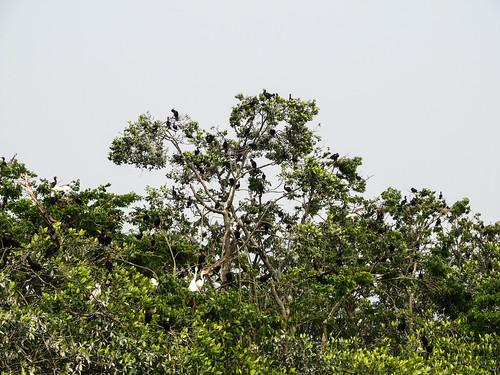 Rio Dulce: des cormorans