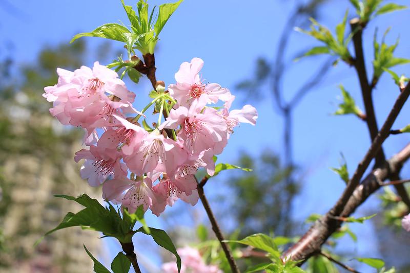 櫻花大開的日子,不過綠芽已經冒出來了。