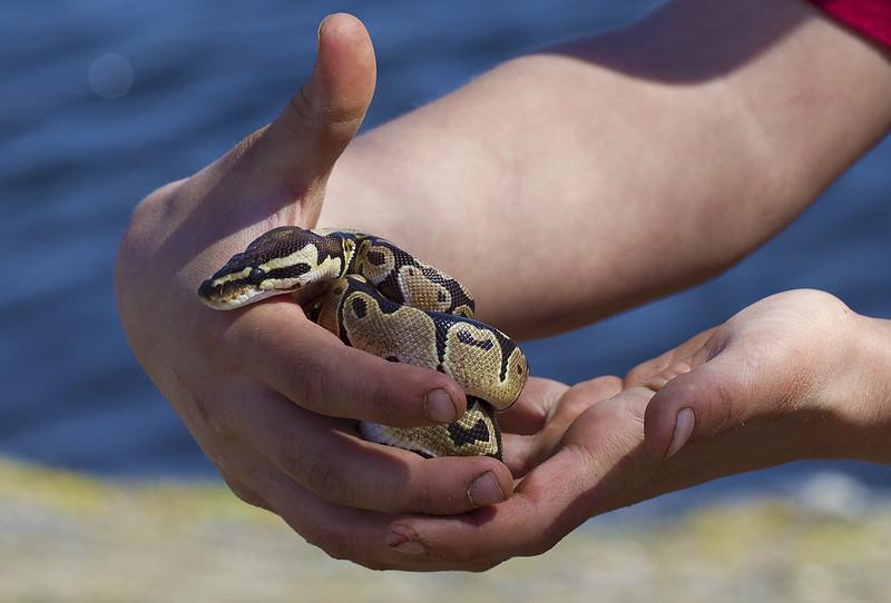 ball python10