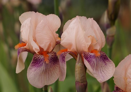 Iris 'Color Carnival' - DeForest 1949 25958174553_f2c206a4c2