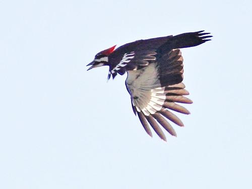 Pileated Woodpecker in flight 2-20160329
