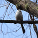 Small photo of Long-tailed tit // Aegithalos caudatus