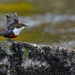White-throated Dipper (Cinclus cinclus) by Images from the Wild