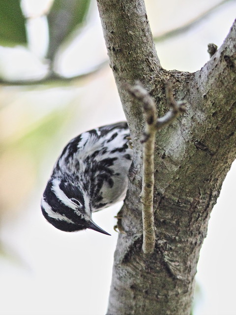 Black-and-White Warbler 06-20160414