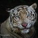 The Portrait of The White Tiger by Vin PSK