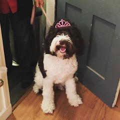 Soooo... Last night was #MaggieMaeDoodle's first birthday! She got her very own birthday cake and two new toys... That crazy girl is still running around with excitement!