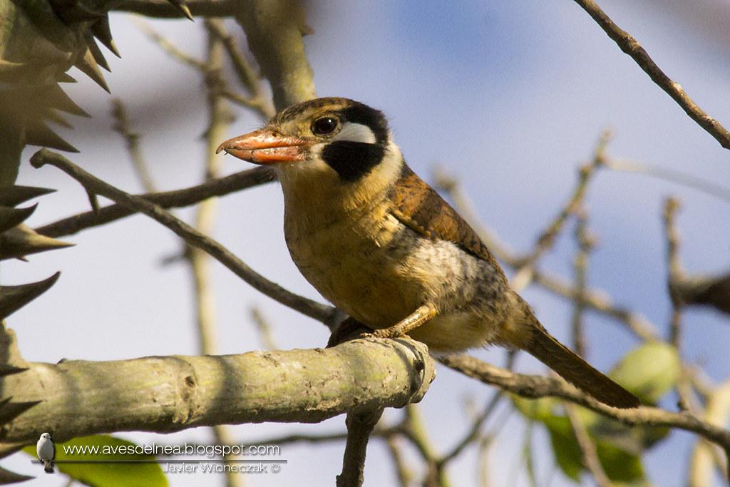 Chacurú cara negra (White-eared Puffbird) Nystalus chacuru