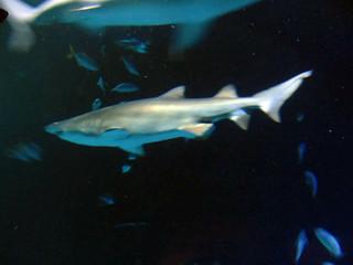 Bilde av Shark Reef Aquarium. autumn usa fish aquarium hotel shark lasvegas nevada reef mandalaybay 2015