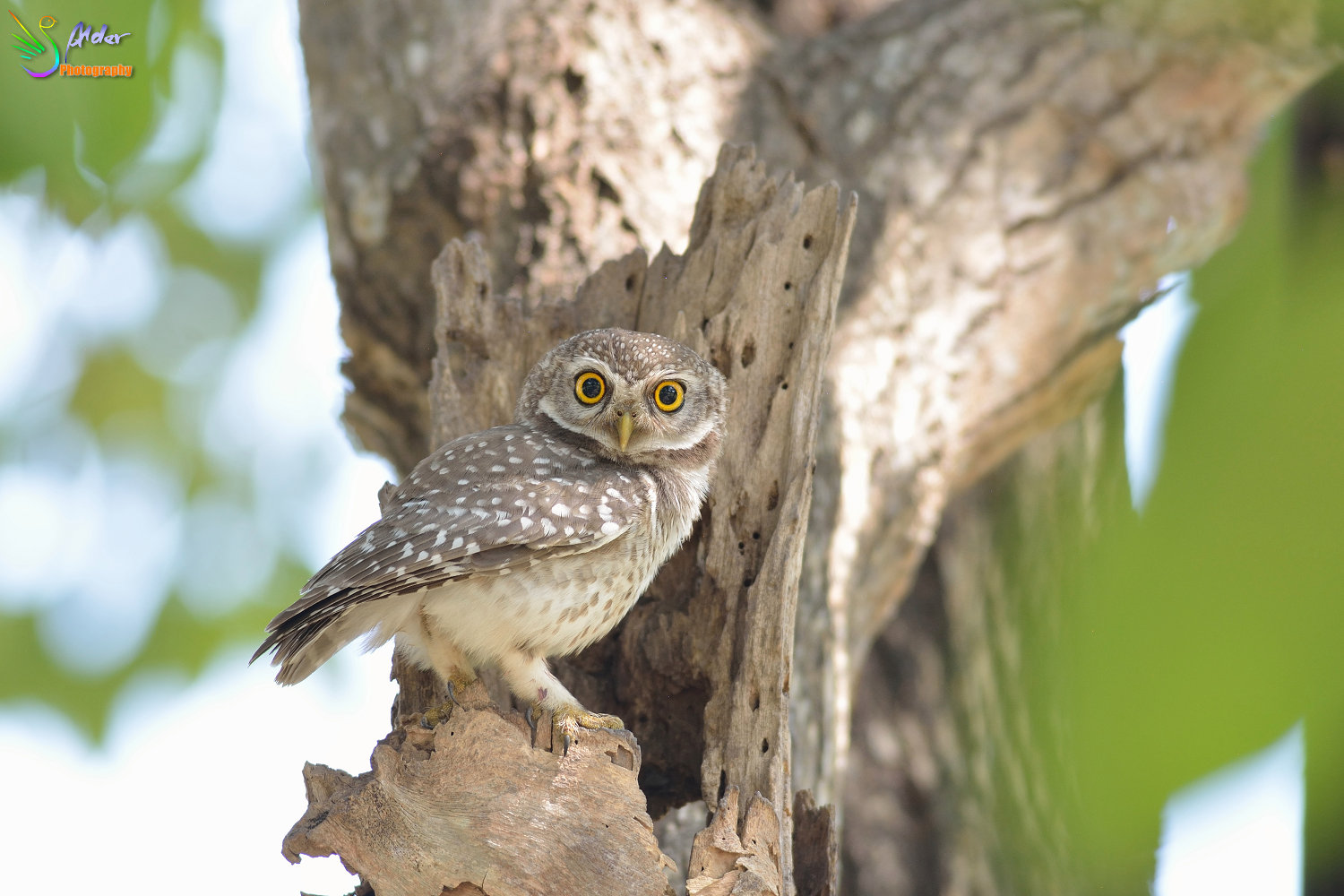 Spotted_Owlet_3045